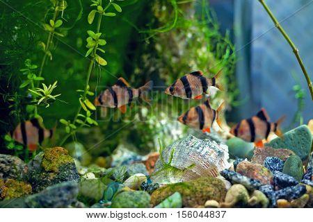 Tiger barb a in aquarium fish underwater
