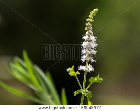 Black Cohosh: White Efflorescence, Green Nature Theme