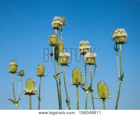 Thistle is a genus of flowering plants in the aster family