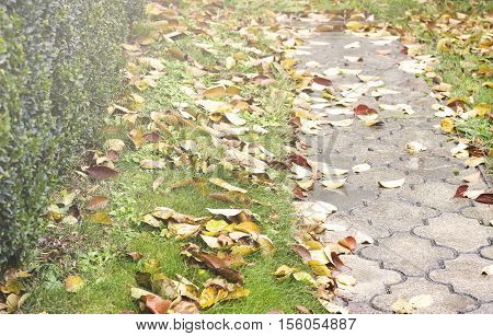 Autumn scene: boxwood bush with fallen dried leaves near the walkway toned soft selective focus