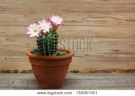 Kakteen flowers / Cactus bloom is rare, but beautiful