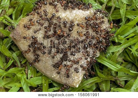 Close up of swarm of ants eating discarded dog bone lying on wet green lawn