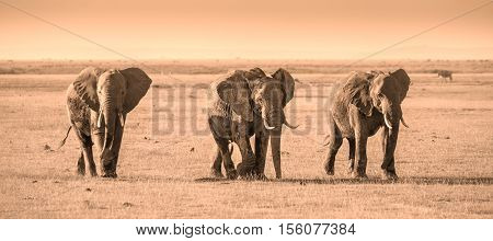 Herd of elephants walkig in Amboseli National park, Kenya, Africa. Panorama.