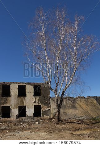 White Birch Abandoned Dilapidated Building And Blue Sky