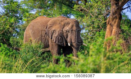 African Bush Elephant in thicket of Murchison Falls National Park