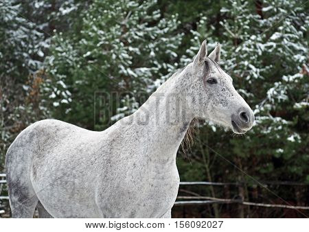 Portrait of a beautiful grey Holstein mare