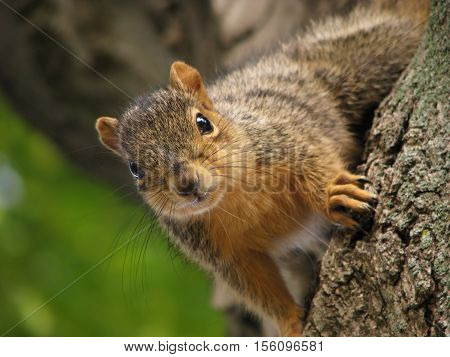 Closeup of a cute, inquisitive squirrel in a tree.