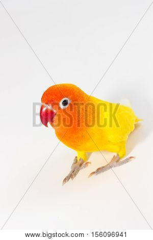 Double Yellow Lovebird standing on white background