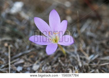 Beautiful violet crocuse flower. Wild flower. Lilla flower.