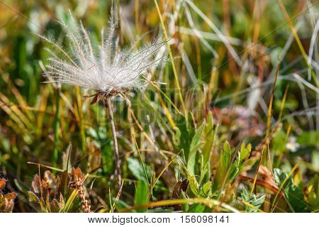 Beautiful floral background with delicate white fluffy flower Dryad in the form of a dandelion on blurred background of grass poster