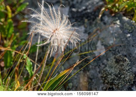 Beautiful floral background with delicate white fluffy flower Dryad in the form of a dandelion on blurred background of grass and stones