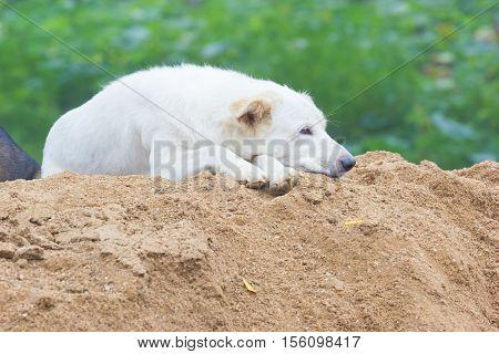white sleepy dog sitting on the sand horizontal photo