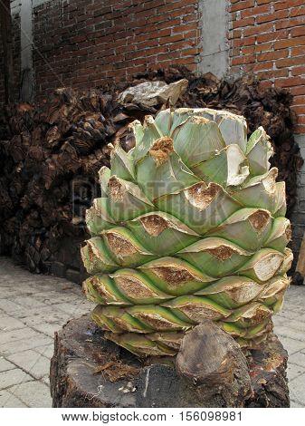 Maguey plant to produce mezcal, Oaxaca, Mexico