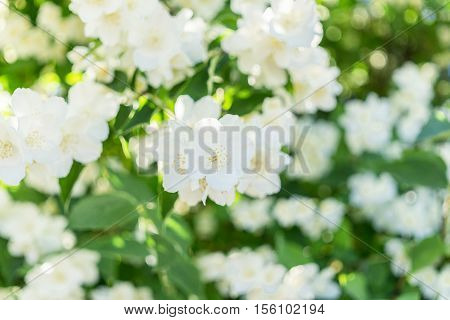 bush blooming jasmine. white flowers. natural background