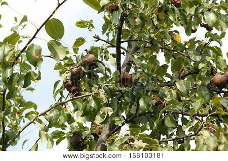 a rotten pear hanging on a tree in the garden. Photo closeup