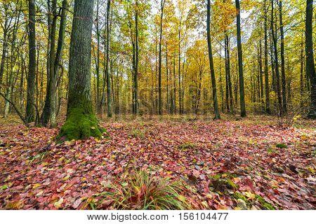 landscape. colorful autumn forest. a lot of fallen leaves