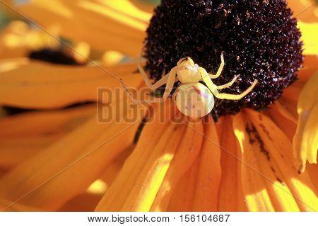 A Goldenrod Crab Spider on a Black-eyed Susan flower