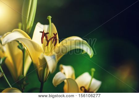 white lily by CU at sunset