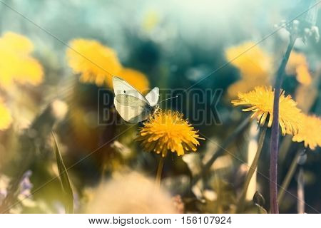 Soft focus on the butterfly and dandelion, butterfly and dandelion illuminated by sunlight