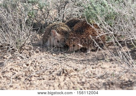 Mating Long-eared hedgehogs (Hemiechinus auritus) during spring in desert of southern Kazakhstan
