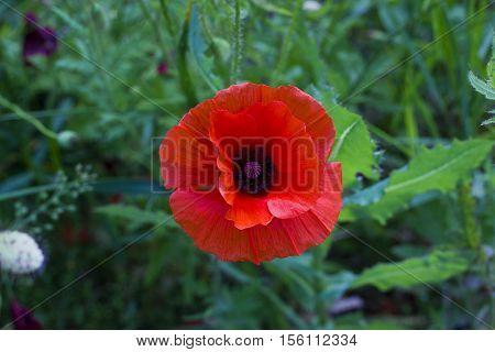 Red poppy flower in grass top view