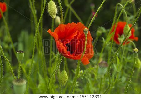 Red poppy flowers with bud in field