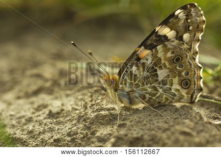 Brown butterfly Vanessa cardui sitting on ground summer day macro photo. Portrait Painted lady butterfly or Cosmopolitan butterfly side view
