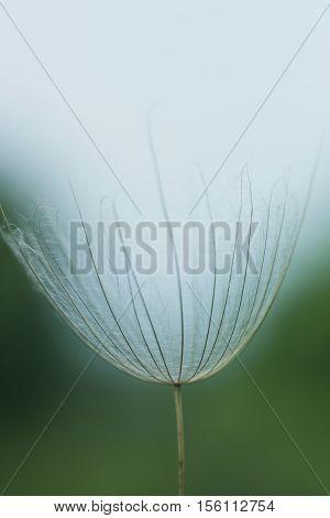 Large white fluffy dandelion flower. Distant relative of dandelion - Salsify. Tragopogon flower. Family  sunflower family. Seeds are borne in fluffy globe. Fragile fluff blowball macro photo poster