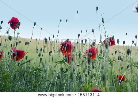 Red poppies flowers in field on summer day