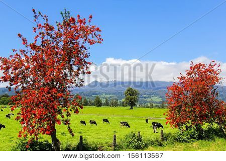 Red Trees And Cows In The Alpine Meadow