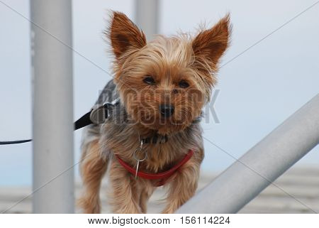 Cute yorkie terrier dog in a harness.