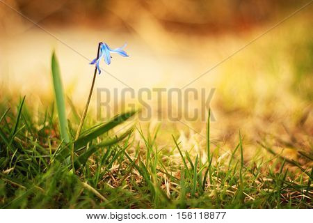 A lonley blue flower in the grass