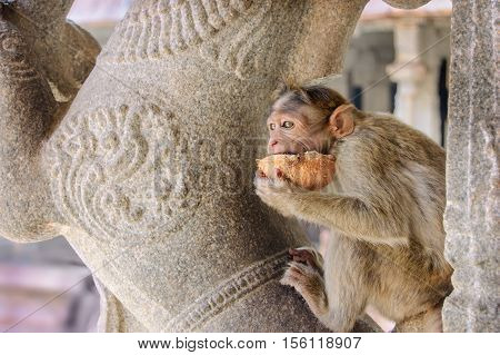 The monkey eats a coconut against ancient stones of the temple Hampi India