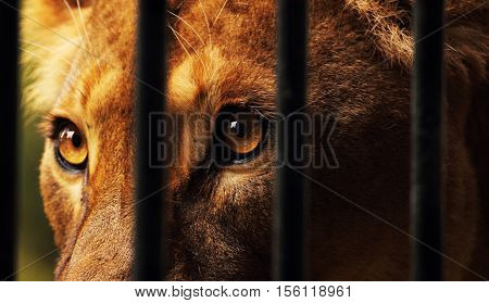 A beautiful lioness behind bars in captivity