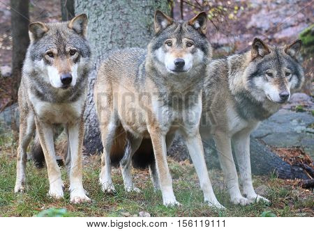 Three beautiful wolves standing in a row