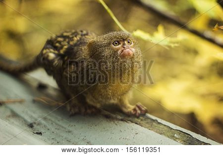 A cute pygmy marmosetstanding on a log