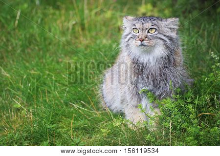 A Pallas's cat sitting in the grass
