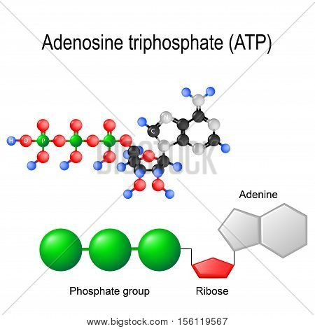 ATP. Structural chemical formula and model of adenosine triphosphate