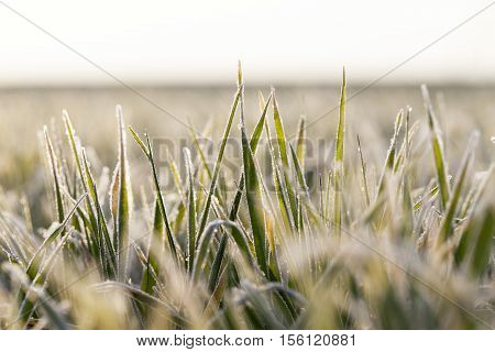 photographed close up young grass plants green wheat growing on agricultural field, agriculture, during the dawn of the sun,