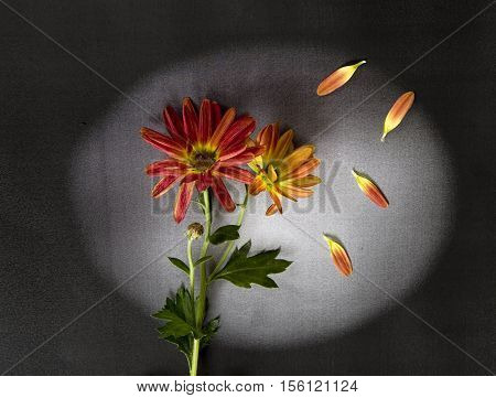 Red flowers with petals on dark background - condolence card
