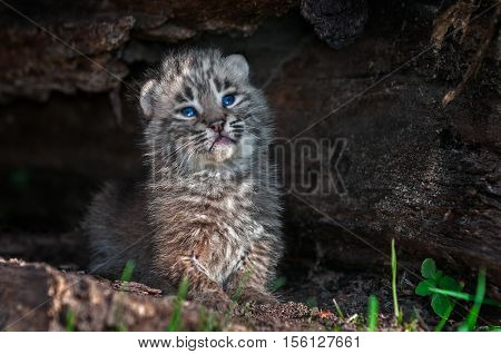 Bobcat Kitten (Lynx rufus) Poses in Log - captive animal