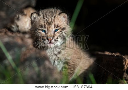Bobcat Kitten (Lynx rufus) Looks Out Over Log - captive animal