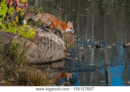 Red Fox (Vulpes vulpes) Moves to Step Off Rock - captive animal