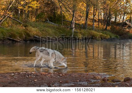 Grey Wolf (Canis lupus) Wades Into River - captive animal