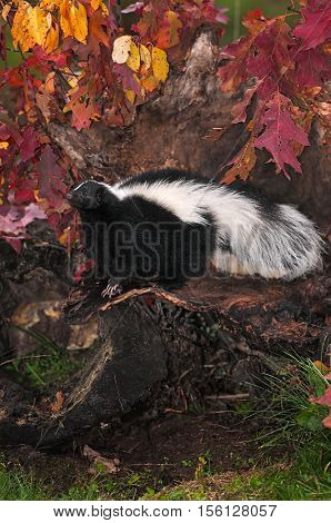 Striped Skunk (Mephitis mephitis) Stands to Right in Fall Leafed Log - captive animal