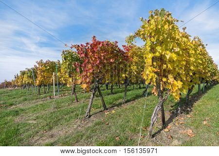 Rows of vine stocks in autumn with colorful leaves