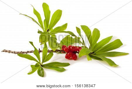 Daphne mezereum. Venomous plant on white background.