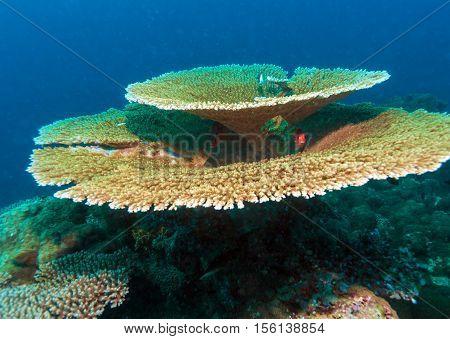Big Table Corals (acropora Pulchra), Maldives