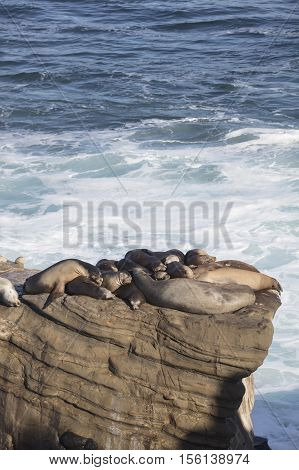 Group of seals resting and sleeping on a cliff overlooking the coast in La Jolla San Diego California