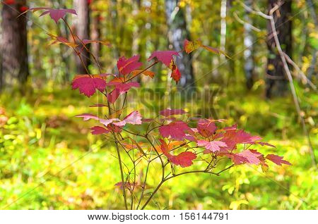 red leaves on a background of green field